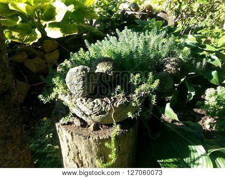 Hypertufa Pot in Shaded Hosta Plant Garden