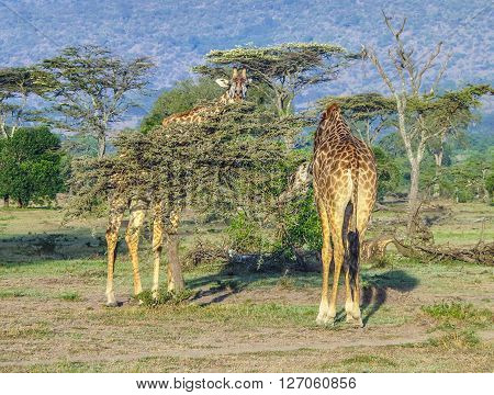 Giraffe In Masai Mara National Park.