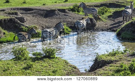 Zebras In Masai Mara National Park Look For A Water Hole
