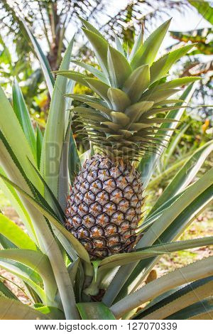 Green pineapple growing on the plantation