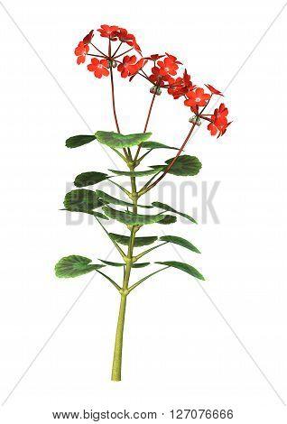 3D Illustration Red Geranium On White