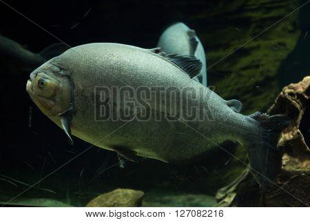 Pirapitinga (Piaractus brachypomus). Wild life animal.
