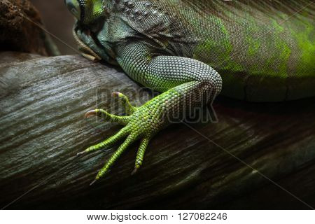 Foot of the green iguana (Iguana iguana). Wild life animal.
