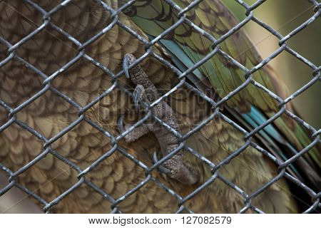 Kea (Nestor notabilis). Foot. Wild life animal.