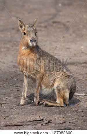 Patagonian mara (Dolichotis patagonum), also known as the Patagonian cavy. Wild life animal.