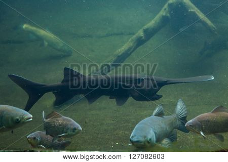 American paddlefish (Polyodon spathula). Wild life animal.