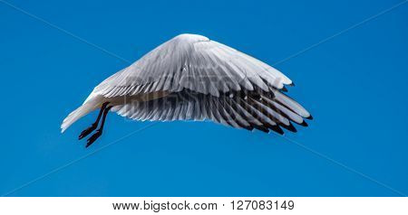 Black Headed Gull Flying Incognito in a blue sky