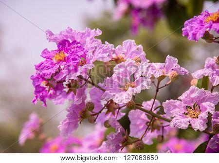Pink Flowers Blooming .