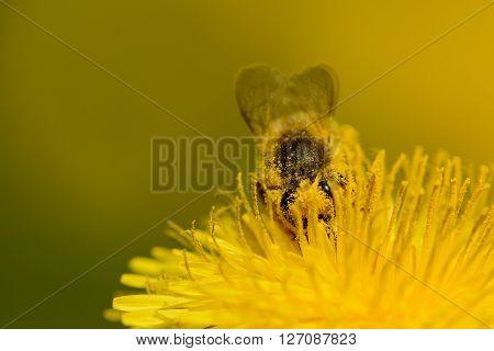 Honey bee working on dandelion. Animal spring work.