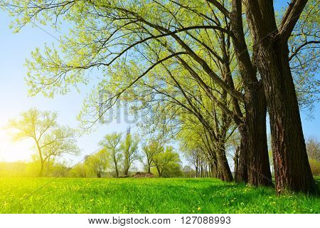 Trees on meadow in sunny day.. Spring landscape.