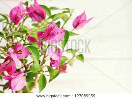 Bright pink tropical bougainvillea flower plant, sunlit, empty space, soft light, soft focus.