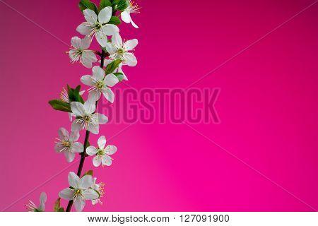 beautiful spring blossom on pink background. studio shot.