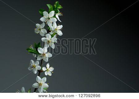 beautiful spring blossom on dark background. studio shot.