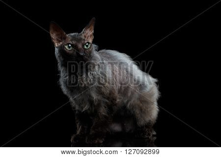 Furry Sphynx Cat with Green eyes Looking up Isolated on Black Background