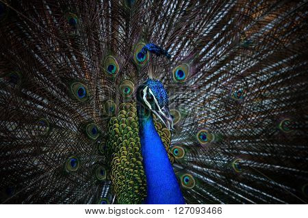 close up face of male indian peacock with beautiful breeding plumage tail