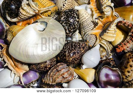 Closeup of colorful tropical seashells on display