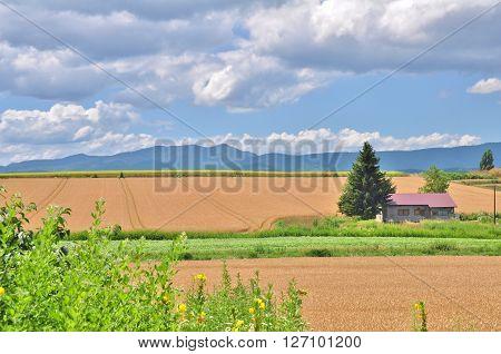 Gold wheat field and blue sky in Biei, Hokkaido, Japan.