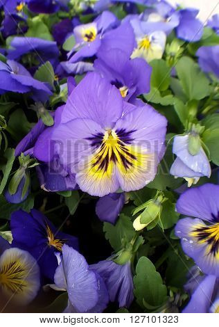 Beautiful Pansy flowers. Viola tricolor in the spring time