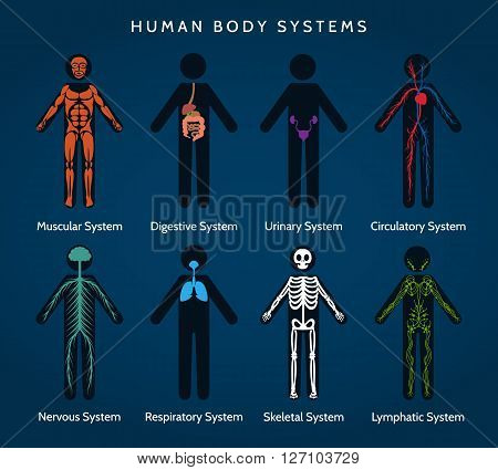 Human Body Anatomy. Body systems. Skeletal and muscular, nervous ans circulatory, lymphatic and digestive systems. Vector illustration