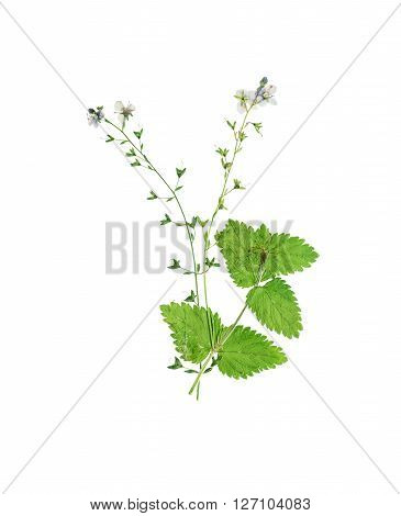 Pressed and dried flower Veronica officinalis. Isolated on white background.