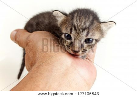 human hand gently holding face of adorable newborn brown tabby kitten on white background
