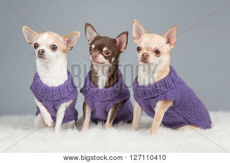 Three cute sitting chihuahua dogs wearing purple knitted sweaters on a grey background