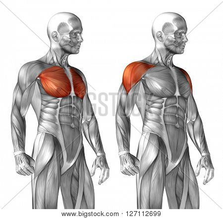 Concept or conceptual 3D chest human anatomy or anatomical and muscle set or collection isolated on white background