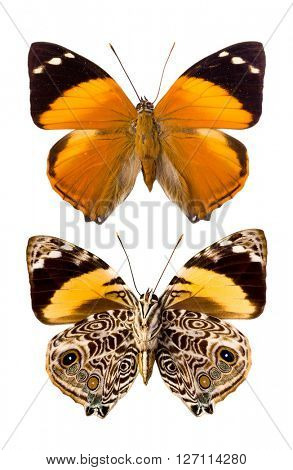 Smyrna Blomfildia butterfly as found in Peru, English name Blomfild's Beauty, a species of the Nymphalidae family