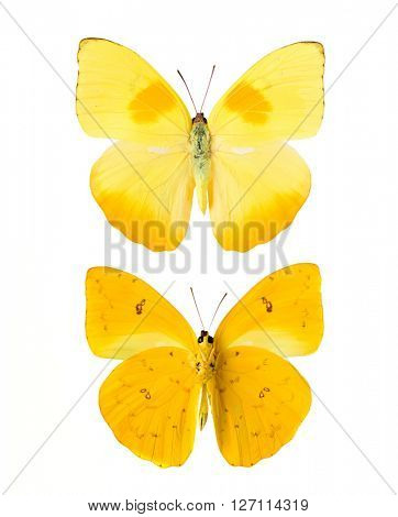 Yellow butterfly from Tingo Maria in Peru, front and backside, Phoebis Philea Philea in Latin, orange-barred sulphur in English
