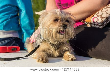 Woman's hand stroking the young Yorkshire Terrier.