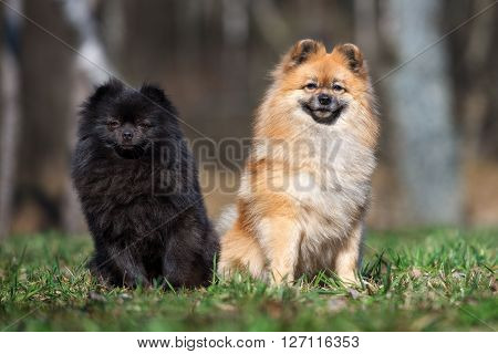 two spitz dogs sitting together outdoors in spring