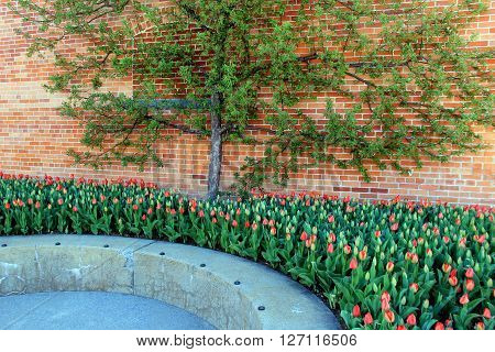 Beautiful scene of Springtime tulips and tree against brick wall.