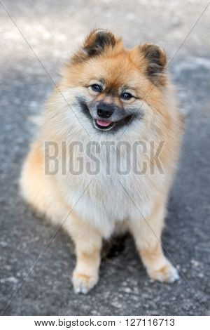 adorable red spitz dog outdoors in spring