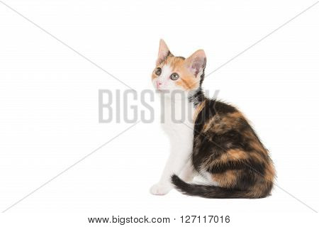 Cute sitting female tortoiseshell young cat seen from the side isolated on a white background