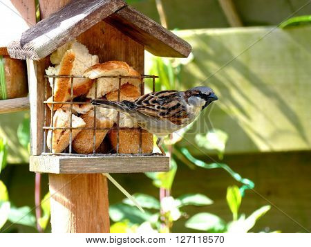 Sparrow ready to leave after feeding on birdhouse