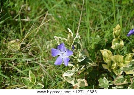 Colorful periwinkle (meter maid), in the spring
