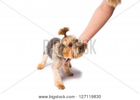 Little Yorkie pup with groomer's hand - isolated on white and with shadow on the floor