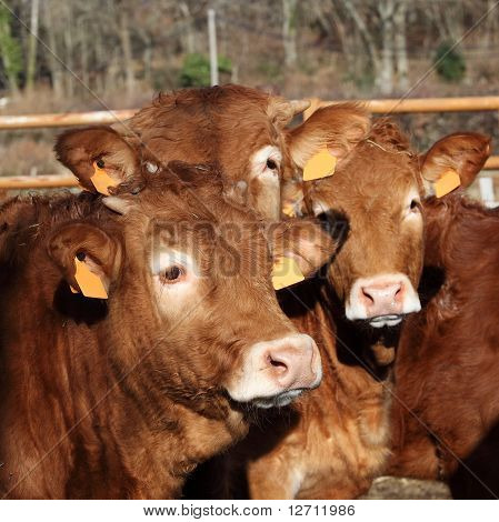 Limousin Bull Calves Friends
