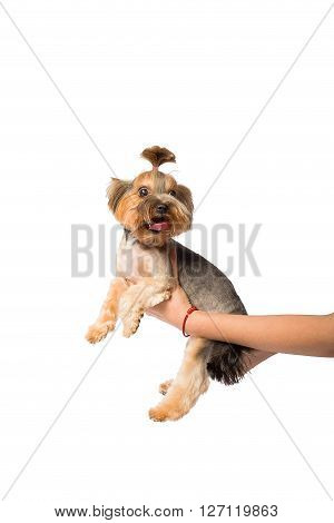 Funny Little Yorkie pup in the groomer's hand - isolated on white