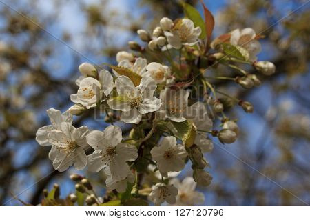 Blooming Twig Of A White Cherry Blossom Tree