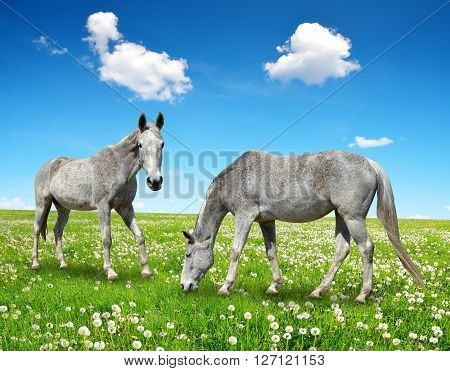 Two grey horse in the spring meadow.