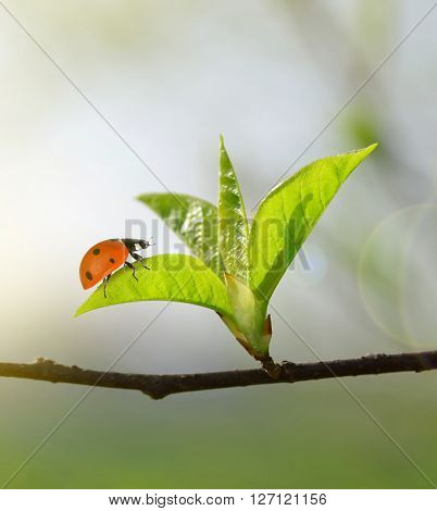 The first spring leaves with ladybug close up. Natural background.