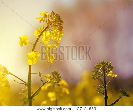 Flower of a rapeseed ( Brassica napus ) at sunset