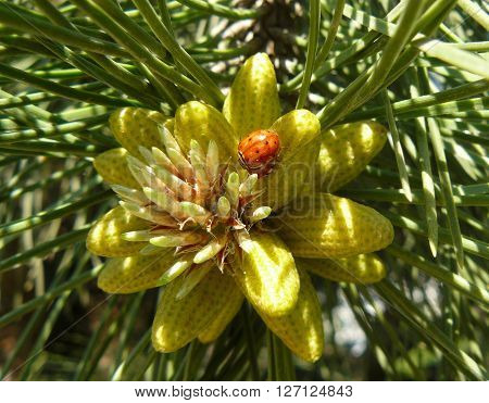 Pine bud Spring in the forest pines were fragrant resinous buds.
