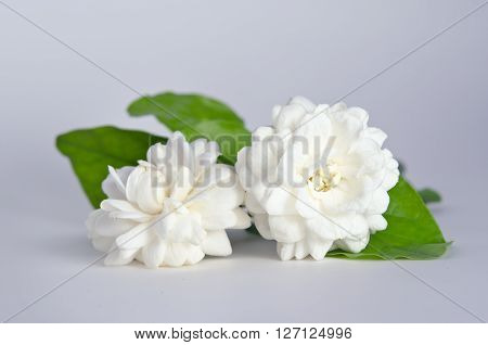 Jasmine (Other names are Jasminum Melati Jessamine Oleaceae) flowers isolated on white background for graphic usage