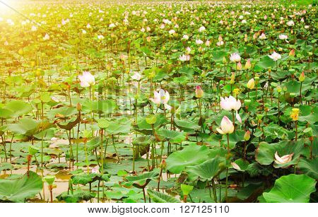 Sunlight on field of blooming lotus flower in Cambodia