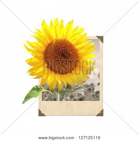 Sunflower in vintage photo frame with 3d effect. Isolated on white background