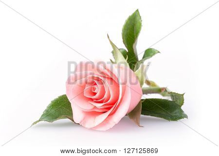 pink rose flower on white background, beautiful flower