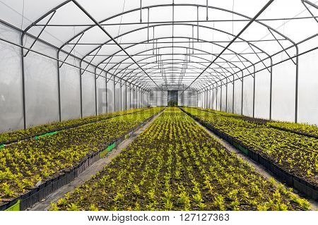 horticulture industry - green plants growing in industrial greenhouse