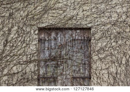 old wooden door overgrown by ivy plants